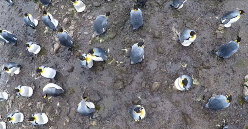 Flights of drones over sub-Antarctic seabirds show species- and status-specific behavioural and physiological responses