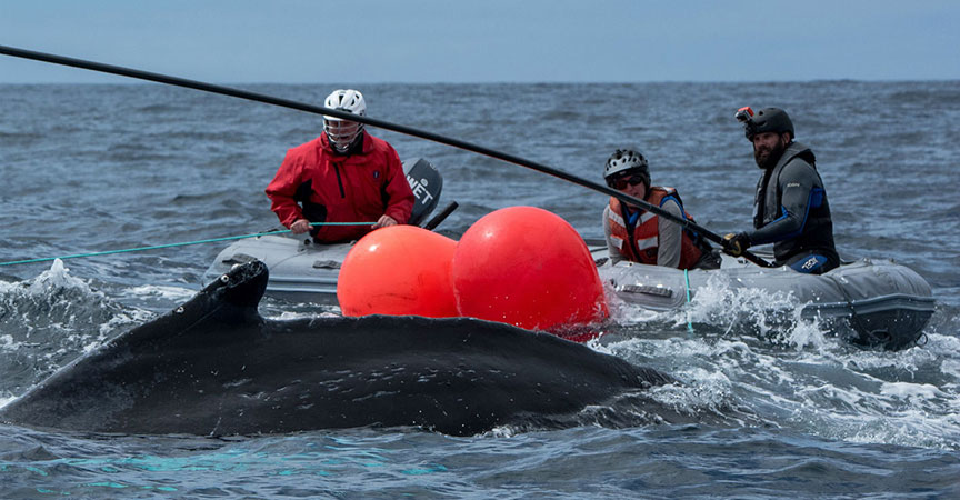 Preventing Large Whale Entanglement – A Scientific Perspective Collaborates with Policy Support